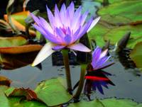 The Blue Water Lily