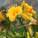 """""""Maine Flowers"""" by Stazie"""