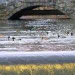 """""""Ducks in the pond"""" by Stazie"""
