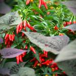 """""""Ornamental Peppers"""" by DianaLee"""
