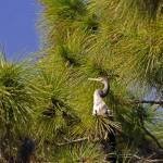"""Anhinga Male in Tree"" by kphotos"