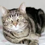 """""""Tabby Cat"""" by welshcorgi"""