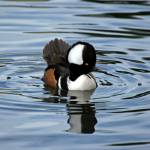 """Male Hooded Merganser"" by 9livesimages"