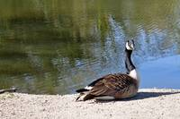 Canada Goose, Basking In The Sun  (16357-RDA)
