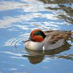 """Green-winged Teal"" by 9livesimages"
