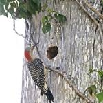 """Red-Bellied Woodpecker at Nest Hole"" by kphotos"