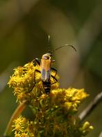 Soldier Beetle  Photo