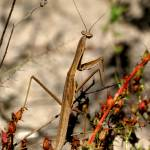 """Praying Mantis Photo"" by cobbmeo"