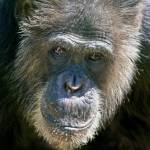 """Chimp Portrait, Oregon Zoo"" by CraigStott"