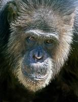 Chimp Portrait, Oregon Zoo