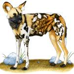 """African Wild Dog"" by inkart"