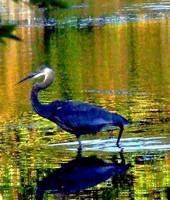 Lake Ripple Blue Heron