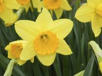Dutch Master Daffodil