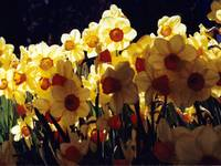Laughing Daffodils