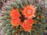 Hook Cactus Blossoms