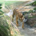 """stalking tiger"" by DavidL"