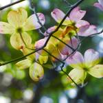 """Yellow, Pink, and amethyst dogwood Blossoms"" by DBGCreations"