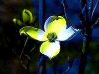 Single Yellow and White Dogwood Blossom