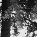 """pine tree"" by wth_tcat"
