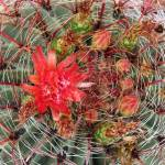 """Hook Barrel Cactus, single blossom"" by LivingGaia"