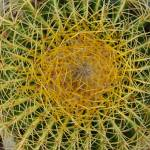 """Yellow Hook Barrel Cactus"" by LivingGaia"