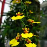 """Oncidium Saint Dawn Gold ""Golden Empire"""" by BrianMadden"