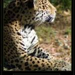 """Jaguar"" by DianaLee"