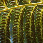 """fern seeds II"" by shortwork"