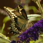 """""""Swallowtail Butterfly"""" by craglynn"""