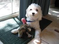 Maltipoo with Stuffed Animal