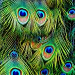 """The Eye of the Peacock"" by ViewingGlass"