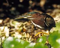 Green Heron Stalks Prey