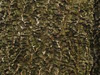 Common Hackberry Bark