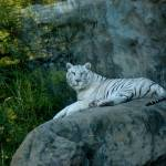 """White-Tiger"" by duilio"