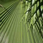 """""""Fan Palm"""" by teresaruskowski"""
