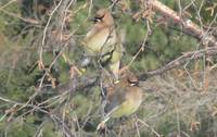 Cedar Waxwing's in Birch Tree