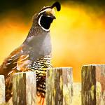 """Quail on the Fence"" by zygzee"