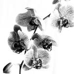 """Spotted Phalaenopsis or Moth Orchid in Black and W"" by walbyent"