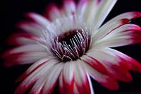 Red and White Gerbera Daisy on Black