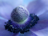 Anemone In Blue