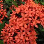 """Ixora (Jungle Flame) Tropical Flower"" by DoloresRootPhoto"