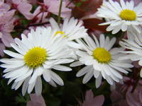 DAISY FLOWERS Spring Blossoms 31 DAISIES ART