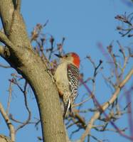 Red Headed Woodpecker