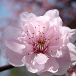 """Tree PINK Blossoms Spring Blossoms Flowers Prints"" by BasleeTroutman"