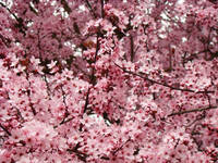 Landscape Trees Spring Pink Blossoms Art Prints