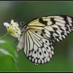 """Paper Butterfly ! Idea leuconoe !"" by vangalenmarco"
