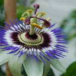 """Passion Flower"" by vangalenmarco"