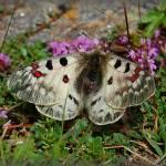 """Parnassius Phoebus Styriacus   -  Alpenapollo"" by vangalenmarco"