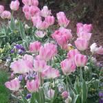 """""""Tulips"""" by magnoliadorn"""