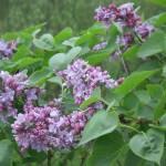"""""""Lilacs"""" by magnoliadorn"""